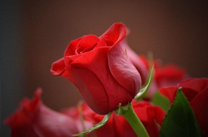 50 Gambar Bunga Mawar Tercantik Di Dunia Warna Putih Good Morning Red Rose 700x462 Download Hd Wallpaper Wallpapertip