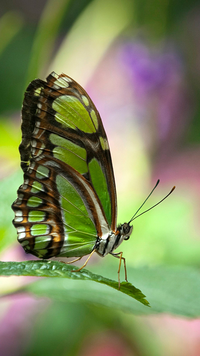 Butterfly Wallpapers Butterfly Green Wallpaper For Android 640x1136 Download Hd Wallpaper Wallpapertip