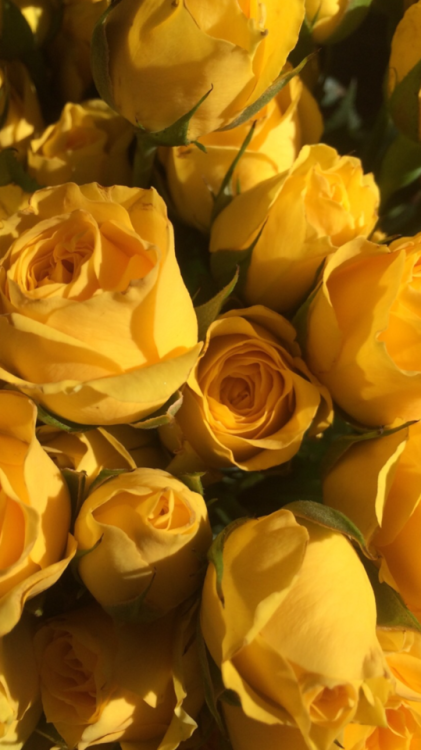 Yellow Roses Wallpaper Iphone 421x750 Download Hd Wallpaper Wallpapertip