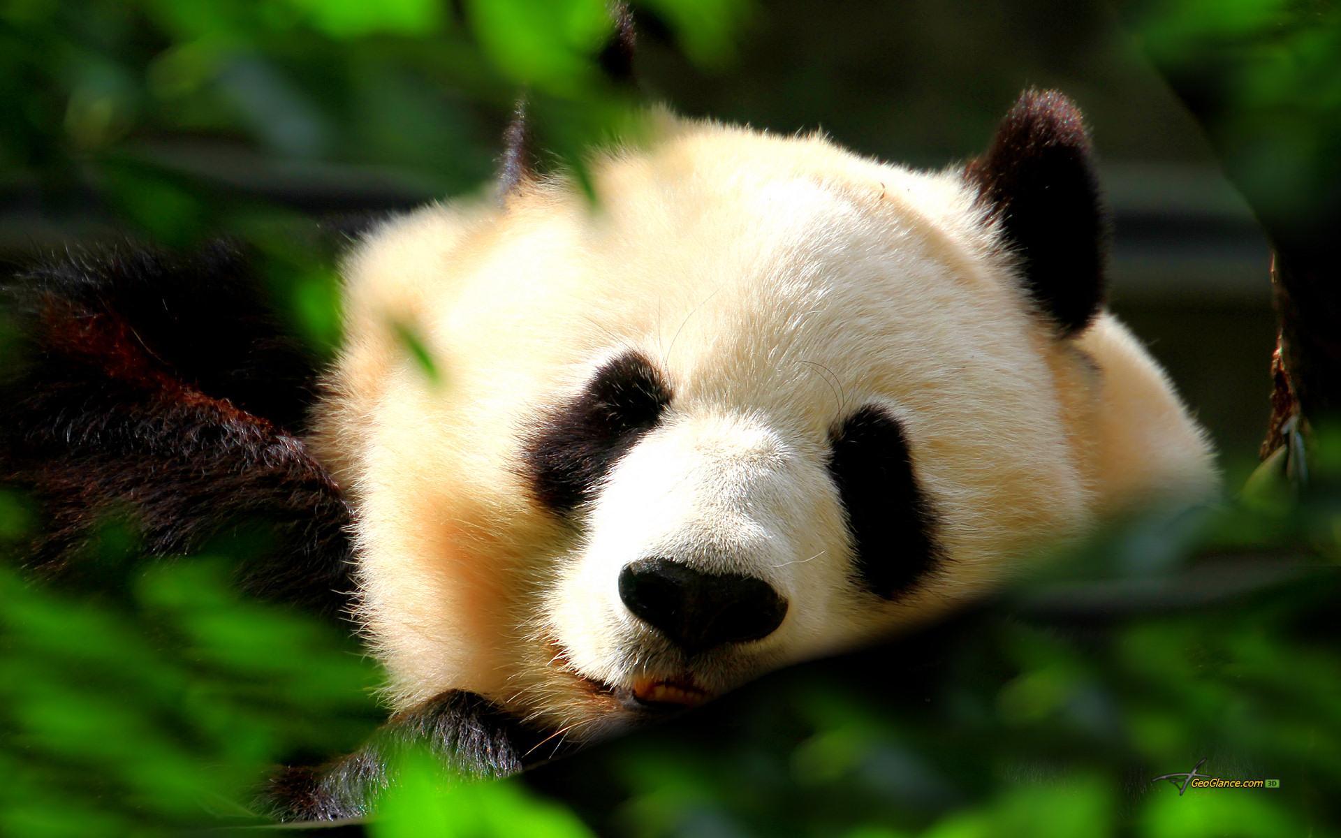 Superbe Ours Panda Geant Fond D Ecran Mignon Panda 1920x1200 Wallpapertip