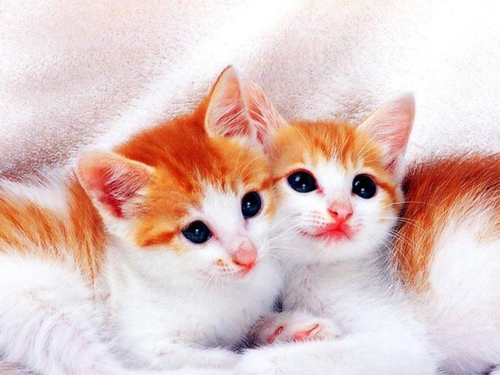 Beautiful Cat Image Hd 1024x768 Download Hd Wallpaper Wallpapertip