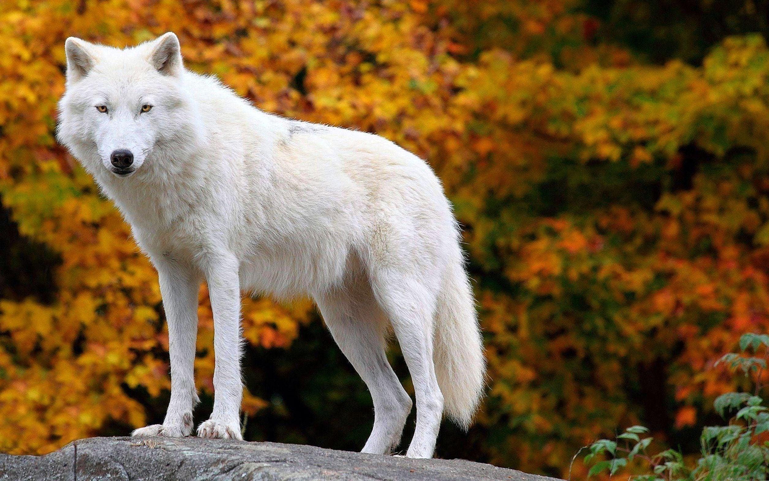 オオカミ壁紙かわいい 北極のオオカミの壁紙 2511x1569 Wallpapertip