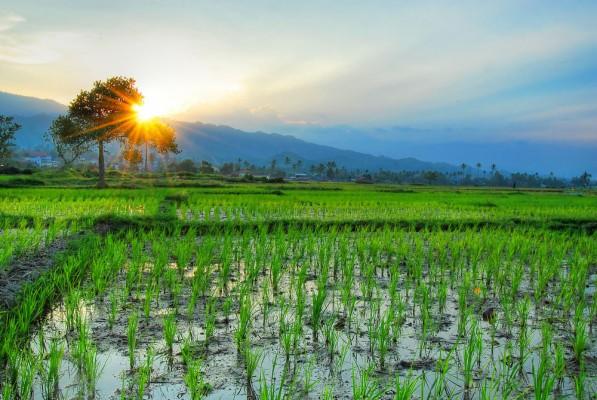 Wallpaper Pemandangan Alam Dan Pedesaan - Download Gambar Pemandangan Sawah  - 597x400 - Download HD Wallpaper - WallpaperTip