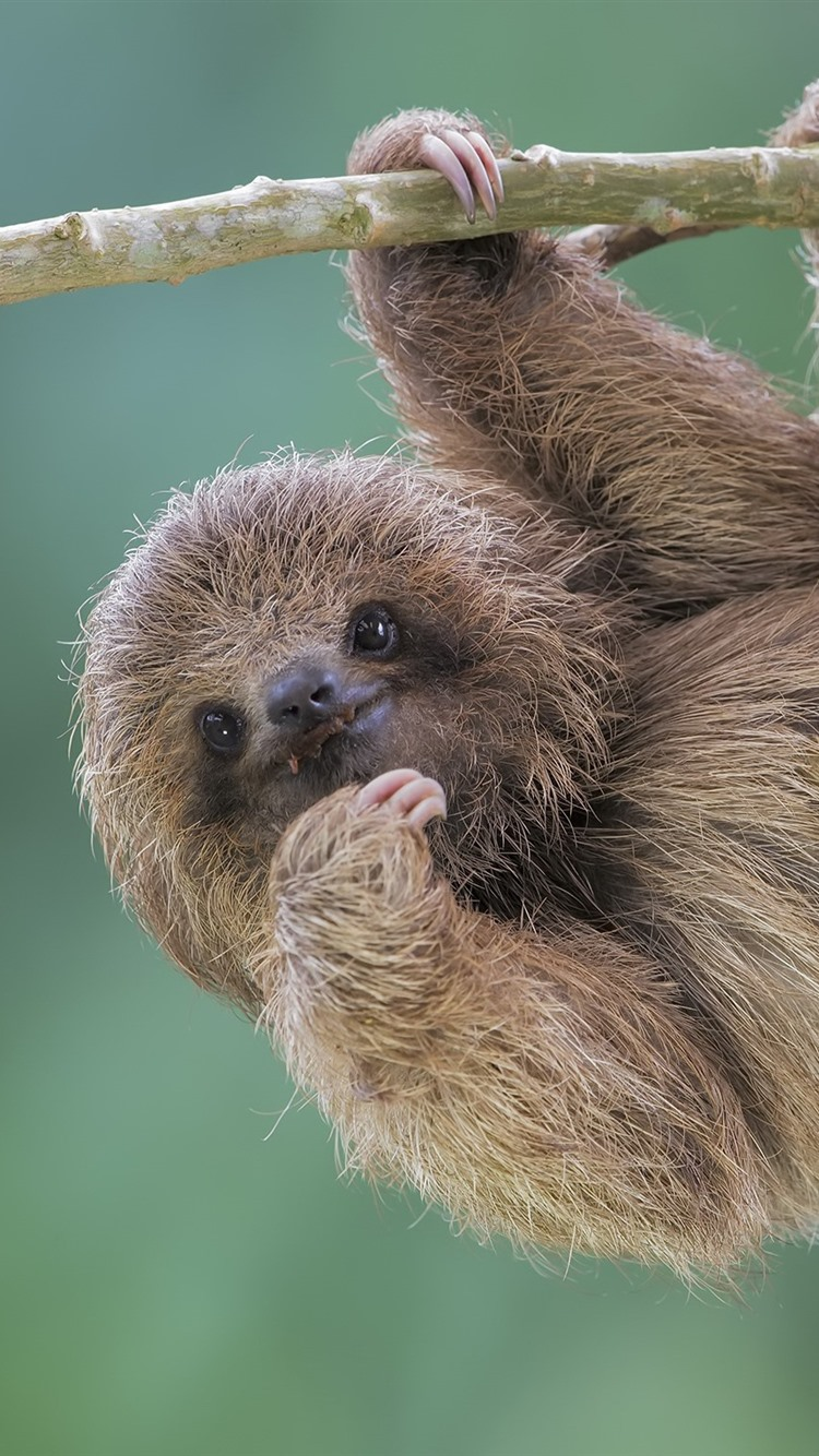 Iphone Wallpaper Cute Animal Sloth Baby Sloth Hanging From Tree 750x1334 Download Hd Wallpaper Wallpapertip