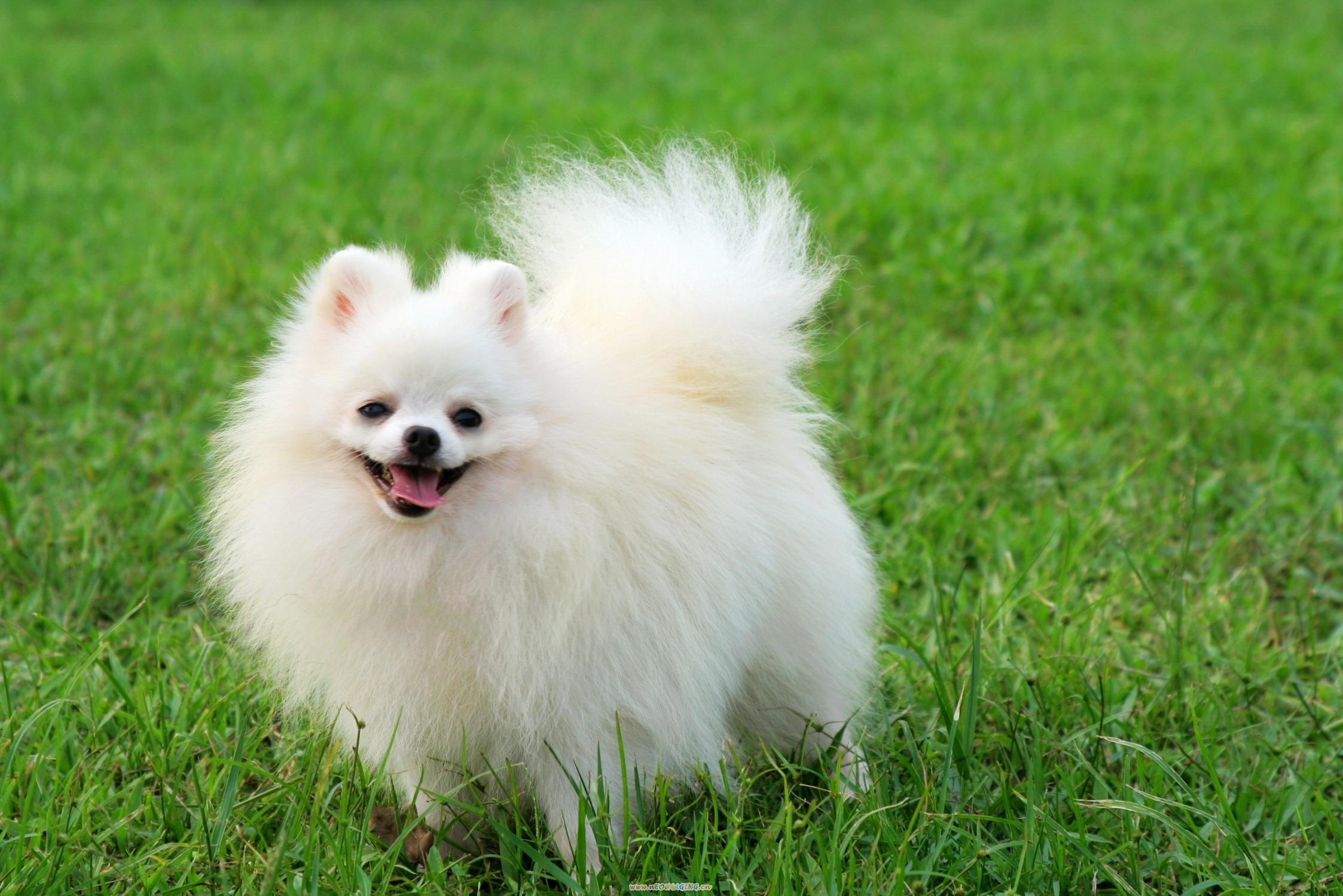 Pomeranian Cute Dog White Colour 1200x800 Download Hd Wallpaper Wallpapertip