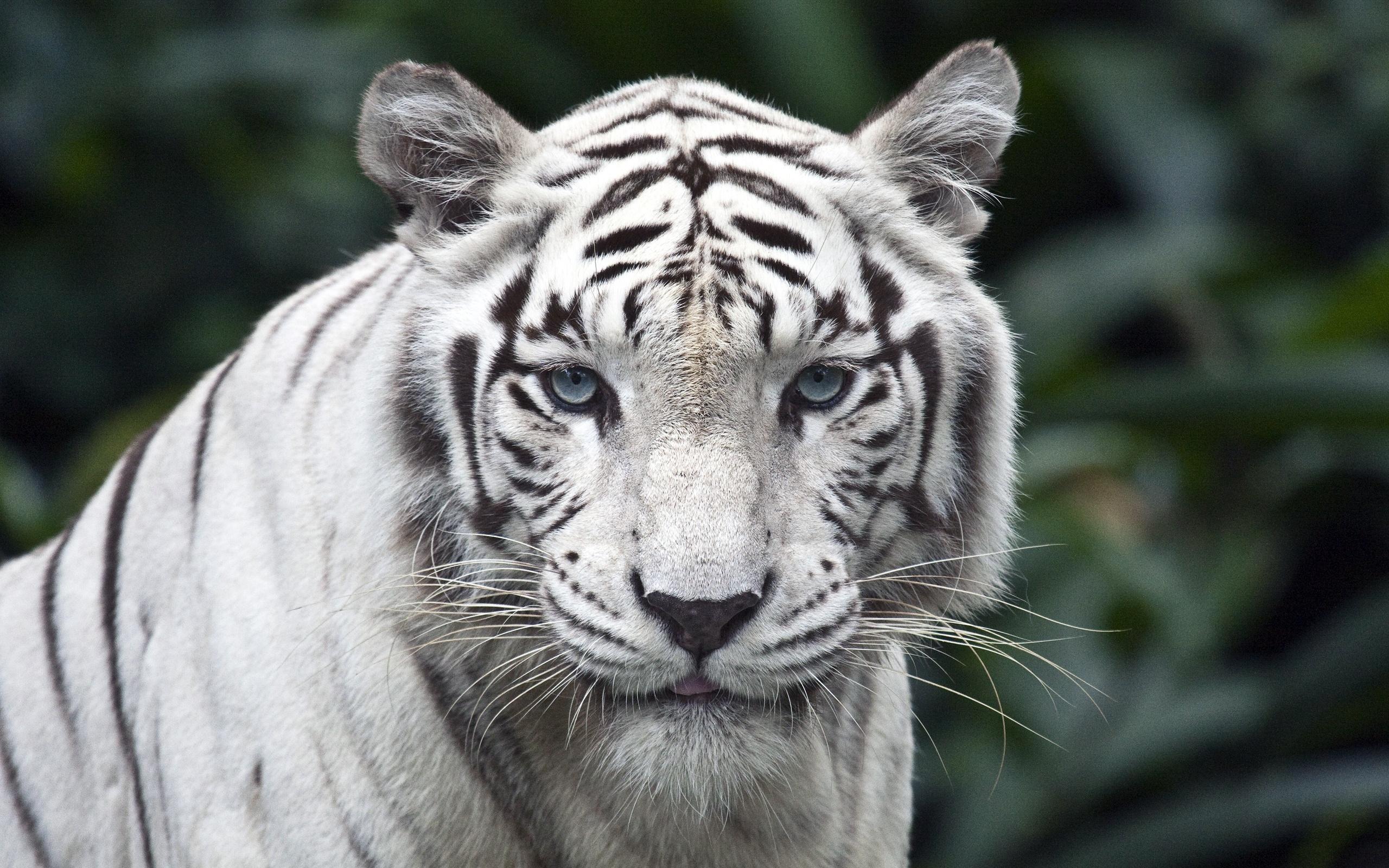 Tigre Blanc Haute Resolution Fond D Ecran Tigre Blanco 2560x1600 Wallpapertip