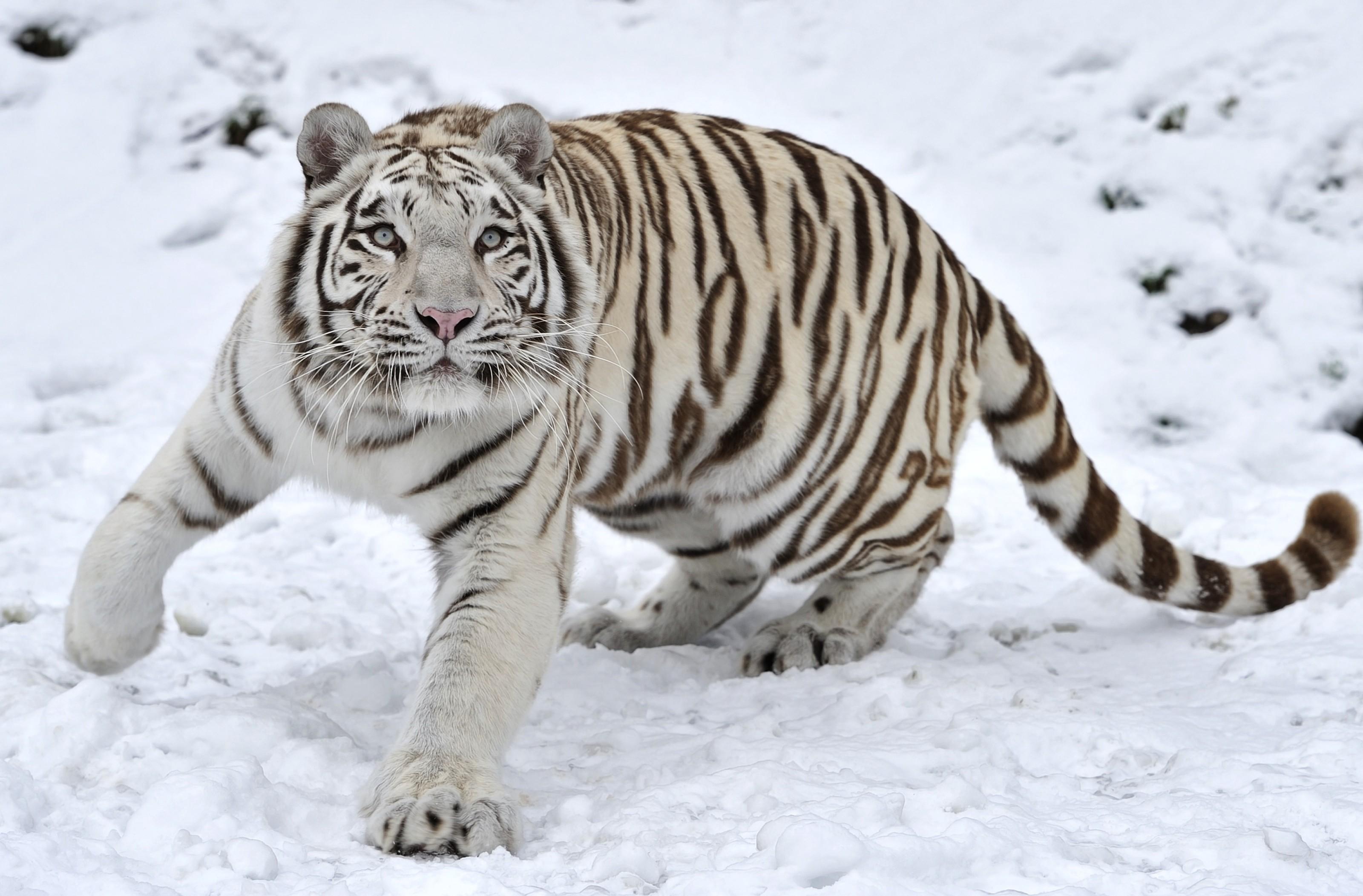 Tigre Blanc Dans La Neige Fond D Ecran Tigre Blanco 3200x2106 Wallpapertip