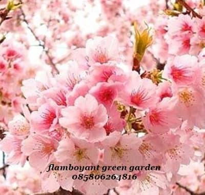 82 829854 download 470 koleksi wallpaper bergerak bunga sakura cherry
