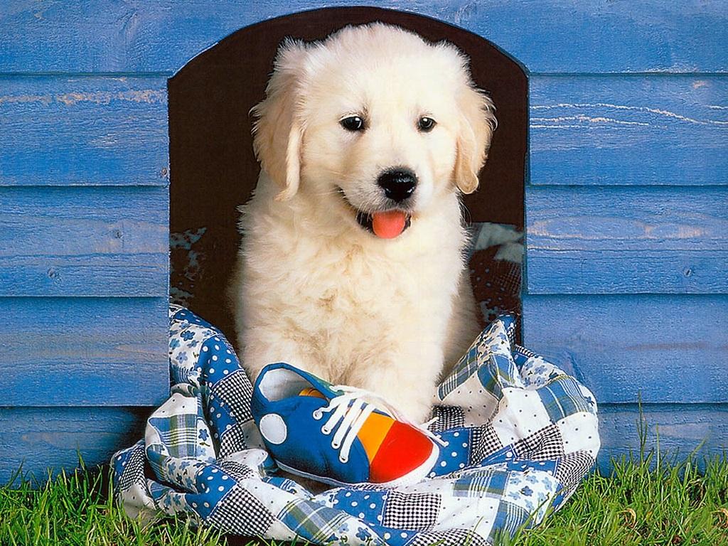 Golden Retriever Puppy Wallpaper For Your Computer Golden Retriever Puppy Dog 1024x768 Download Hd Wallpaper Wallpapertip