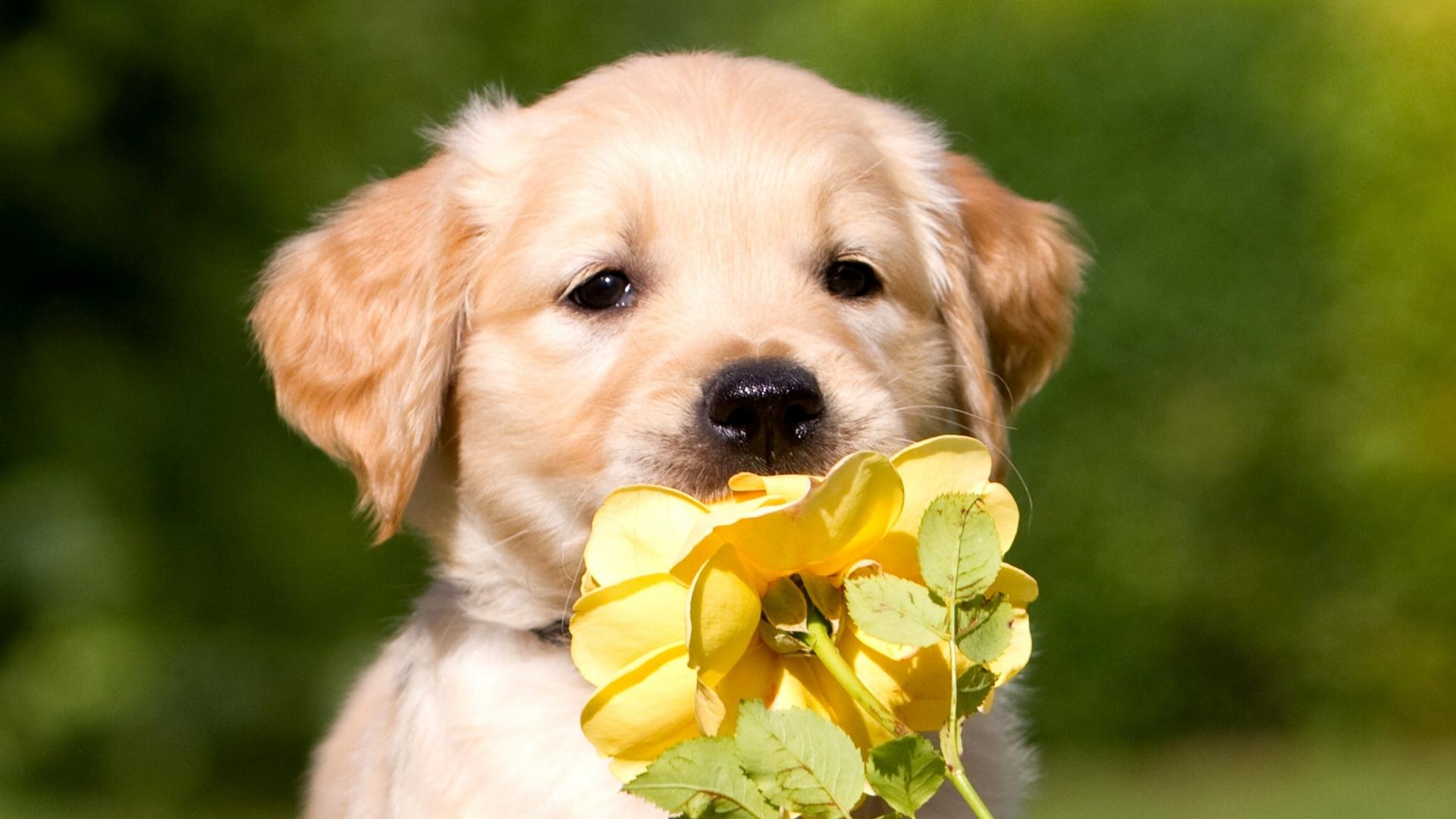 Cute Golden Retriever With Flowers 1920x1080 Download Hd Wallpaper Wallpapertip