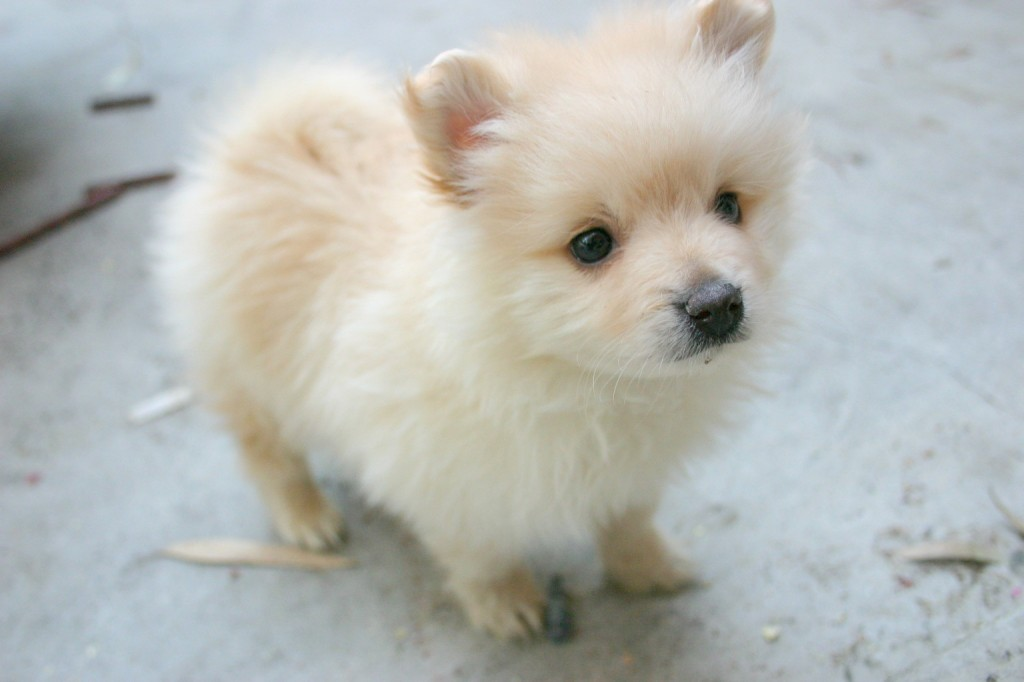 Pomeranian Puppy Wallpaper 1024x682 Download Hd Wallpaper Wallpapertip