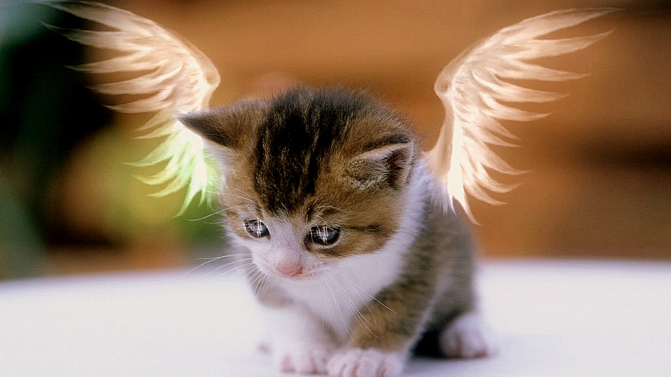 Angel Kitty Cute Cat Photos Free Download 1366x768 Download Hd Wallpaper Wallpapertip