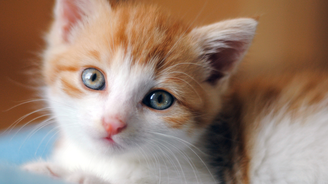 かわいい猫の写真のhdダウンロード かわいいキティの壁紙 1366x768 Wallpapertip