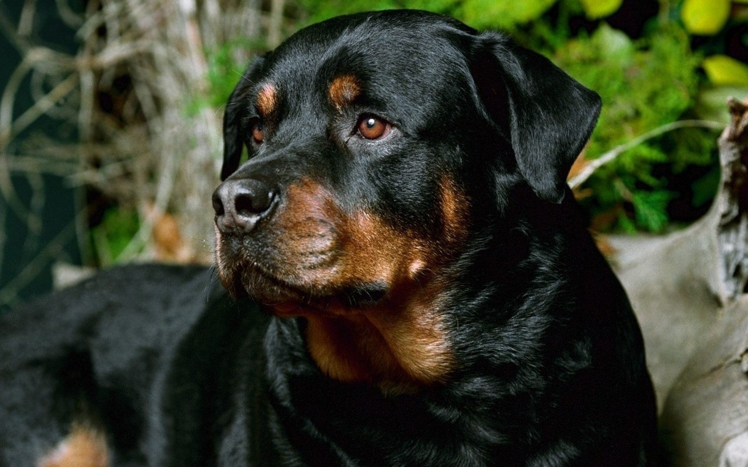 Hd Rottweiler Wallpapers And Photos High Resolution Rottweiler Hd 2560x1600 Download Hd Wallpaper Wallpapertip
