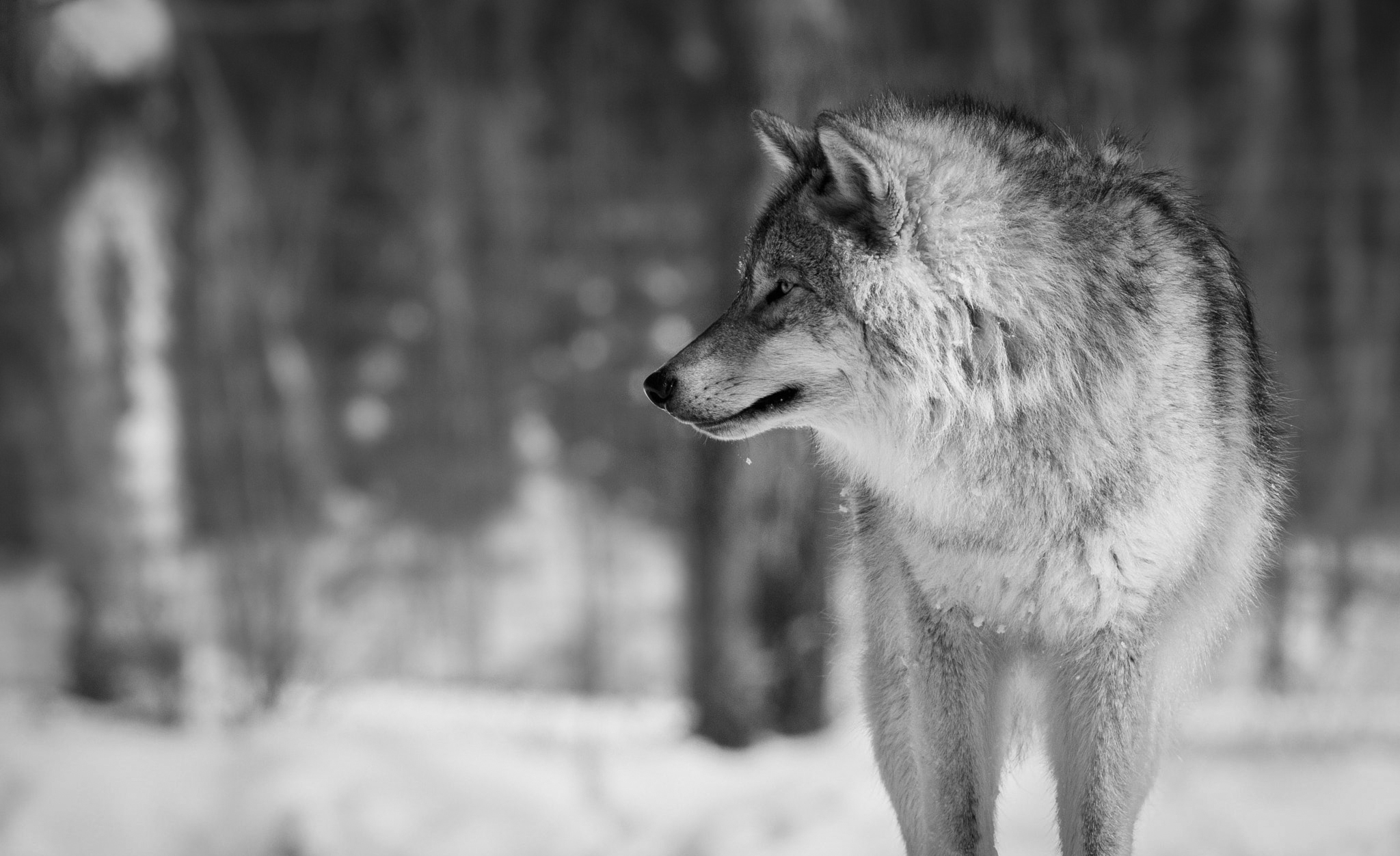 Downloaded From Allhdwallpapers Wolf Wallpaper Hd Black And White 2048x1252 Download Hd Wallpaper Wallpapertip