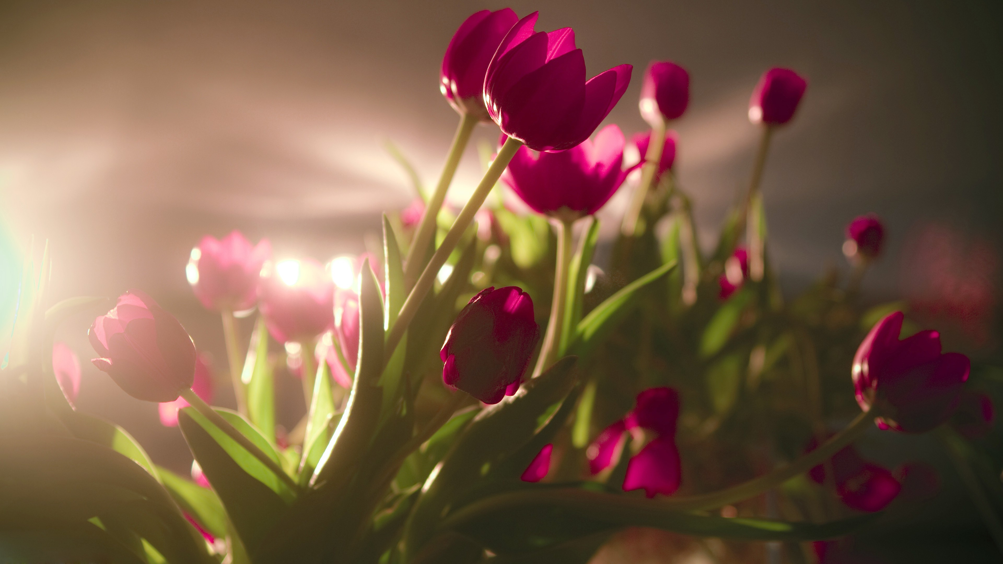 Beautiful Flowers Tulip Hd Wallpapers Images Data Src High Resolution Tulip Flower 3840x2160 Download Hd Wallpaper Wallpapertip