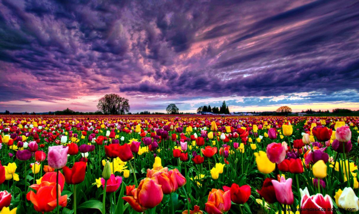 Flowers Gardens Wallpapers For Desktop Full Size Desktop Wallpaper Tulips 1216x728 Download Hd Wallpaper Wallpapertip