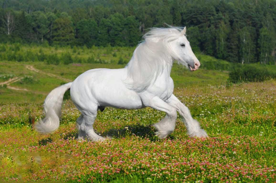 White Horse Wallpaper 1157x768 Download Hd Wallpaper Wallpapertip